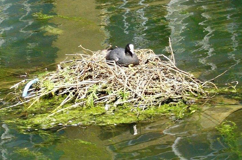 a coot at wenlcok basin london n1